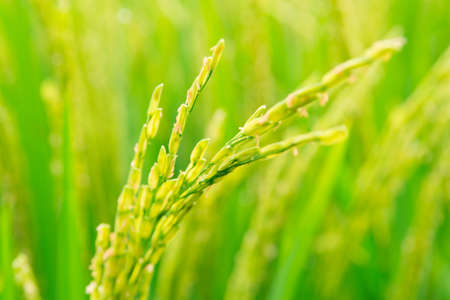 Mature paddy rice  Rice is the main food of Asian