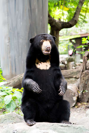 Black bear  Asiatic Black bear   at the Dusit zoo, Thailand  Stock Photo