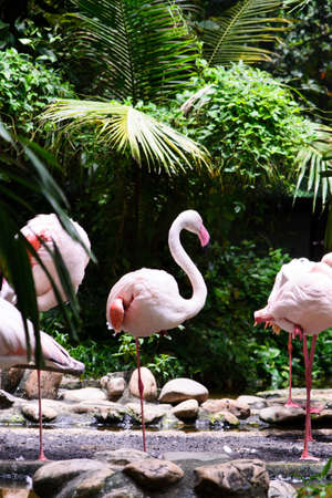 Group of pink flamingos near water Stock Photo