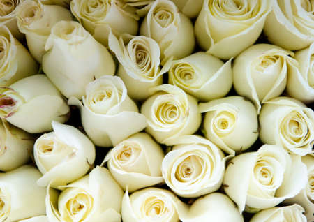 Background from white roses Stock Photo