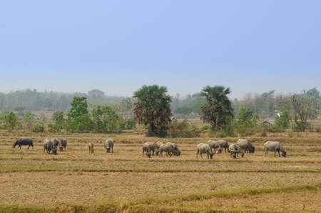 Thai Buffalo walk over the field.