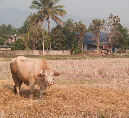 bullock animal: cow eating grass and straw on pasture at daytime