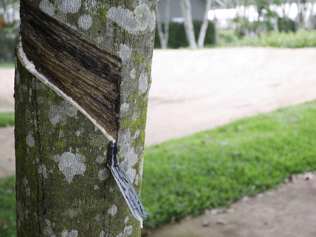 Natural rubber from Rubber tree ,(Hevea brasiliensis)  has sliced Stock Photo