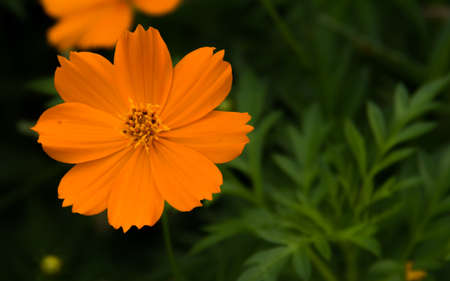 indigenous medicine: yellow flower Stock Photo