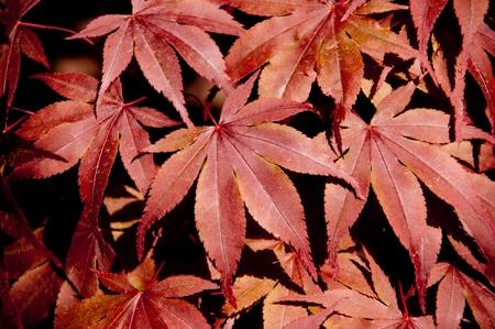 japanese maple leaves Stock Photo - 9353725