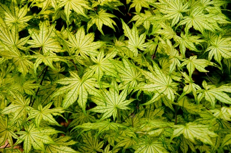 green japanese maple leaves Stock Photo - 9358251