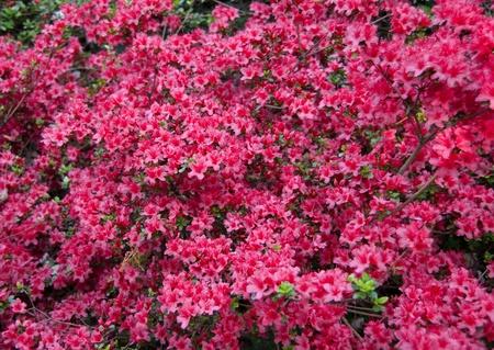 azaleae in bloom