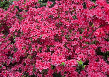 azaleae in bloom Stock Photo - 9353721