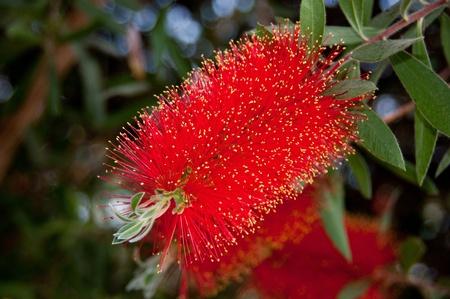 callistemon citrinus: bottlebrush in bloom Stock Photo