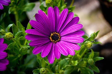 Purple daisy flower macro Stock Photo - 9360847