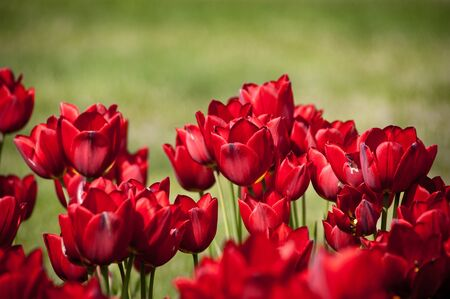 red tulips in bloom Stock Photo - 9360845