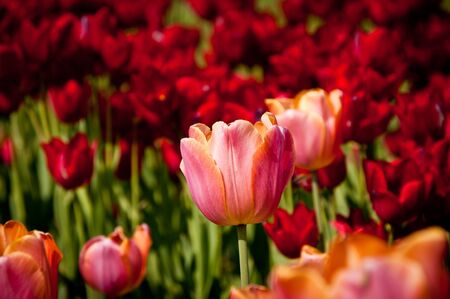 pink tulip on a red tulips background