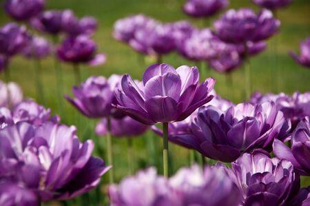 pink tulips: Purple tulip between purple tulips