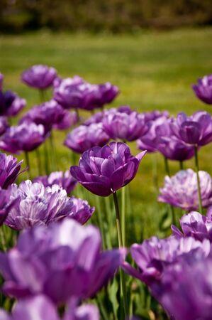 purple tulip between purple tulips Stock Photo - 9360844