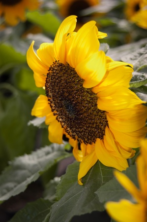 Sunflower - Helianthus annuus Stock Photo - 9368949