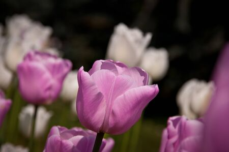 Pink Tulips in a garden Stock Photo - 9368939