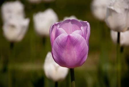 Pink tulip between white tulips Stock Photo
