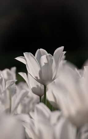 white tulip on black background Stock Photo - 9373369