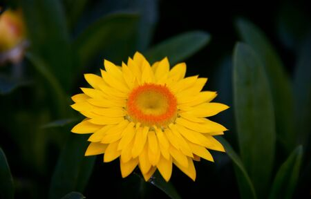 Yellow Gerbera flower Stock Photo - 9373373