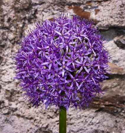 allium aflatunense - flowering onion in bloom Stock Photo