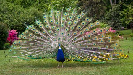 peacock tail fully shown Stock Photo - 9456957