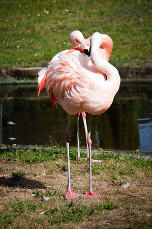 greater flamingos kissing each other Stock Photo - 9456955