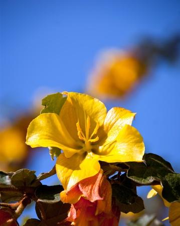 yellow azalea flower in bloom