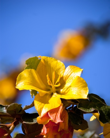 yellow azalea flower in bloom Stock Photo - 9456952