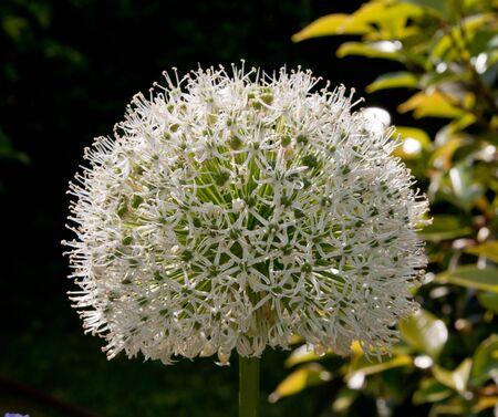 white allium flower in bloom during spring Stock Photo - 9456953