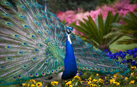 peacock tail fully shown Stock Photo