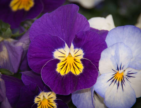 violet flower in bloom Stock Photo