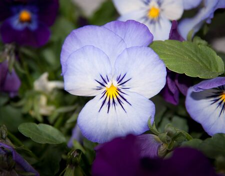violet flower in bloom Stock Photo - 9510794