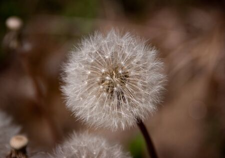 dandelion flower and seeds macro Stock Photo - 9510797
