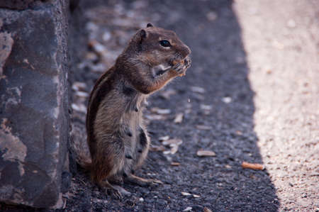 little squirrel eating peanuts Stock Photo
