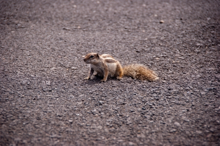 little squirrel on the road