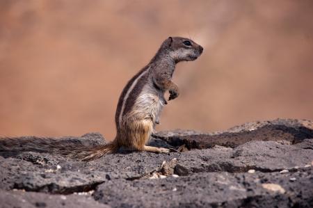 little squirrel profile Stock Photo
