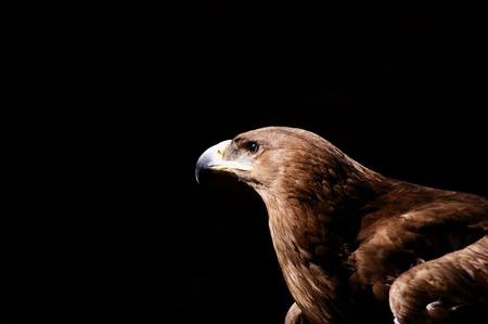 steppe eagle close up ok head on black background
