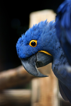 Hyacinth macaw  close up Stock Photo - 10034837