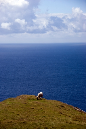 Lonely free sheep eating on a cliff overlooking ocean