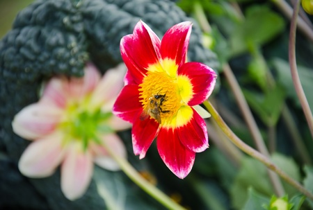 Close up of a bee on a red chrysanthemum
