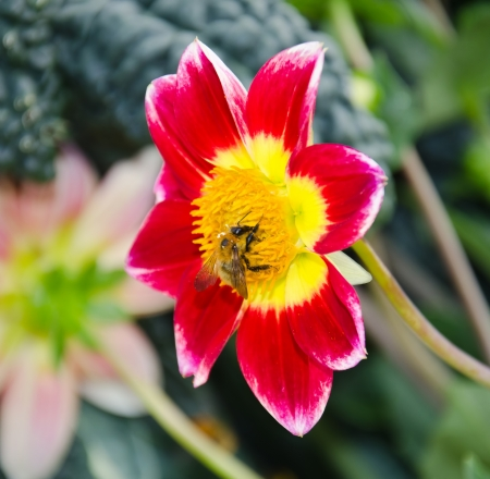 bee on a red chrysanthemum Stock Photo