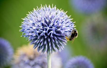 bee pollinating an echinops ritro flower (thistle) Stock Photo - 10414165