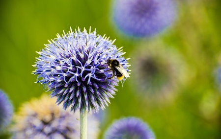 bee pollinating an echinops ritro flower (thistle)