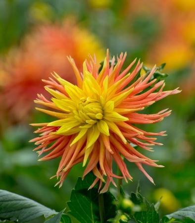 dahlia flower in bloom