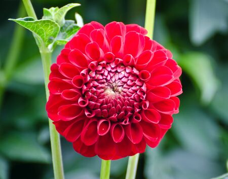 red dahlia in bloom