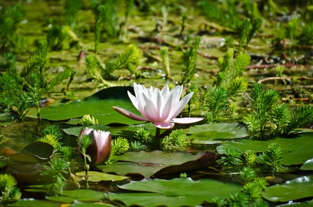 nymphaea in the water