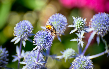 bee on a lilac flower photo