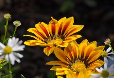 gazania flower detail in bloom