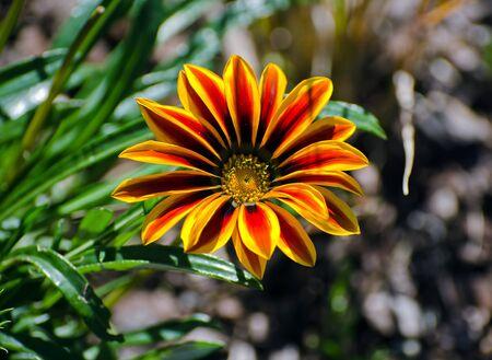 gazania rigens flower in bloom
