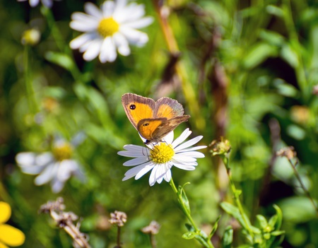 butterfly on a daisy flower Stock Photo